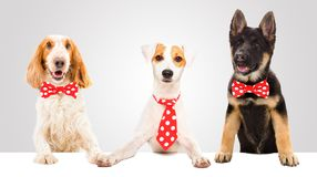 Three funny dogs. In red ties stock photo
