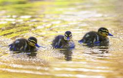 Three funny little duckling floating on water in colorful Sunny stock photo