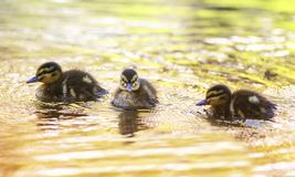 Three funny little duckling floating on water in colorful Sunny stock images