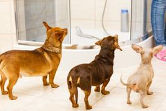 Three funny little miniature purebreed dogs. Three small dogs joyfully looking at owner. Miniature purebreed puppies in bathroom royalty free stock photos