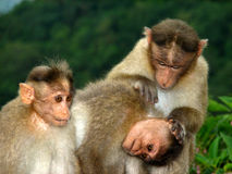 Three funny monkeys Stock Photo