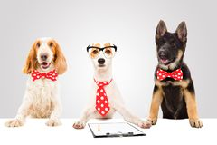 Three funny office dogs. On gray background royalty free stock photography