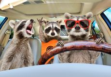 Three funny raccoon ride in the car. Three funny raccoon with a guitar ride in the car royalty free stock photography