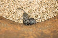 Three funny rodents little gray mice sit in a barrel with a stock of wheat grains, spoil the harvest and look up scared. Three rodents little gray mice sit in a stock photo