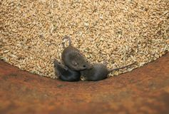 Three funny rodents little gray mice sit in a barrel with a stock of wheat grains, spoil the harvest and look up scared. Funny rodents little gray mice sit in a stock photography