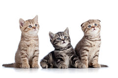 Three funny Scottish kittens Royalty Free Stock Photo