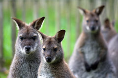 Three Funny wallabies on a row Royalty Free Stock Images