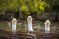 Three funny white geese. Funny image with three domestic geese behind a wattled fence, looking in the same direction stock photography