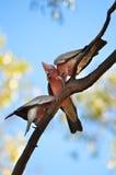 Three Galah cockatoos in tree Royalty Free Stock Image