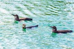 Three Galapagos Penguins Stock Photo