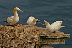 Three Gannets. Northern Gannets who gather together in the Summer at mating time, on Bempton Cliffs, Yorkshire, England Stock Photos