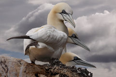 Three Gannets Stock Photo