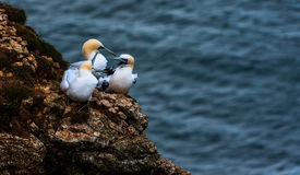 Three Gannets  at bempton Cliffs, Yorkshire , UK Royalty Free Stock Images