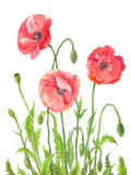 Three garden poppies in watercolor. Composition of field red flo. Wers. Botanical illustration on white background. Hand drawn art Stock Images