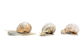 Three garden snails Stock Photography