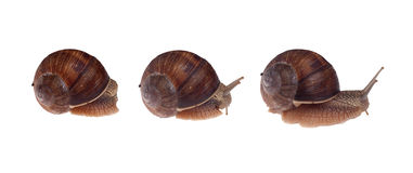 Three Garden Snails Isolated on White. Stock Photo