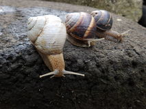 Three garden snails Stock Image