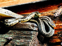 Garter Snakes Sunning. These three snakes are sunning on window frame of an old farm house stock image