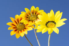 Three Gazania Rigen Flowers Against Sky. Three yellow rigen gazanias in various colour combinations with a vibrant blue sky as it`s background stock image