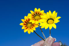 Three Gazania Rigen Flowers Held Against Sky. Three yellow rigen gazanias in various colour combinations being held by female fingers against a vibrant blue sky stock photo