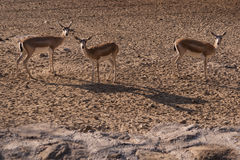 Three Gazelles in national park. Stock Images