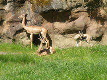Three Gazelles in the Sun Royalty Free Stock Photo