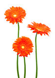 Three geberas (african daisy) Stock Photo