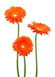 Three geberas (african daisy) Stock Photo