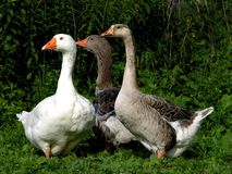 Three Geese. Watchful and alert on a farm in Rhode Island Royalty Free Stock Photography