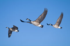 Three Geese Royalty Free Stock Photos