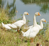 Three geese Royalty Free Stock Photo