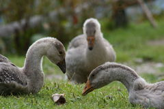 Three geese. Sitting on grass Royalty Free Stock Image