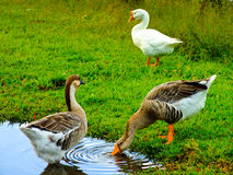 Three Geese, Big Island Hawaii Royalty Free Stock Photo