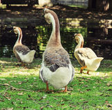 Three geese in the city park Stock Photos