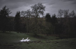 Three Geese at Dawn. Cotswolds. Spring, UK Royalty Free Stock Images