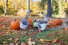 Geese eating pumpkins royalty free stock photos