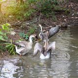 Three geese fluttering. Royalty Free Stock Photo