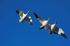 Three geese flying. Snow geese flying with a blue sky background Royalty Free Stock Photo