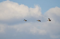 Three Geese Flying in a Beautiful Sky Stock Photo
