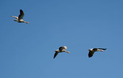 Three Geese Flying Royalty Free Stock Photo