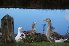 Three Geese Gazing royalty free stock photos