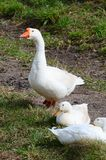 Three geese in a grass Royalty Free Stock Image
