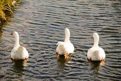 Three geese stock photo