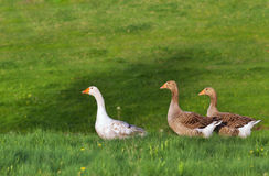 Three geese in nature Stock Images
