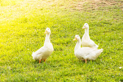 Three Geese Stock Photos