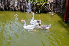 Three geese swim in the pond. Three geese swim together in a canal royalty free stock photos