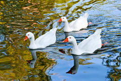 Three geese swimming Royalty Free Stock Images