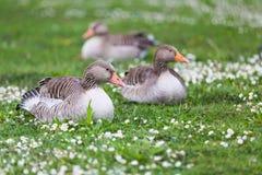 Three geese Royalty Free Stock Photos