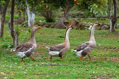 Geese waking on the grass Royalty Free Stock Image