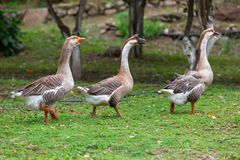 Three geese waking. On the grass Stock Photos